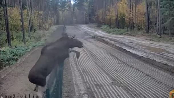 Пограничники показали видео побега лося из Беларуси в Литву