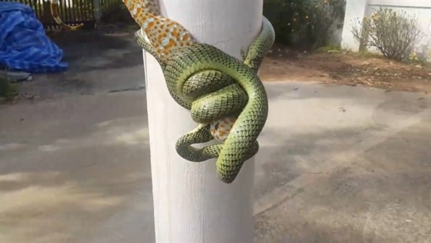 На видео попала борьба геккона и змеи