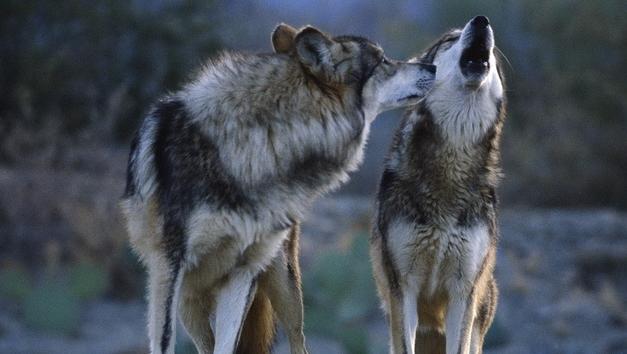 Минлесхоз будет стимулировать отстрел волков и лисиц в Беларуси