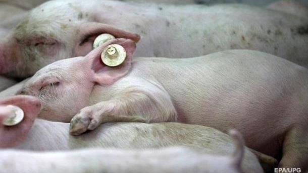В Луганской области вспышка чумы свиней