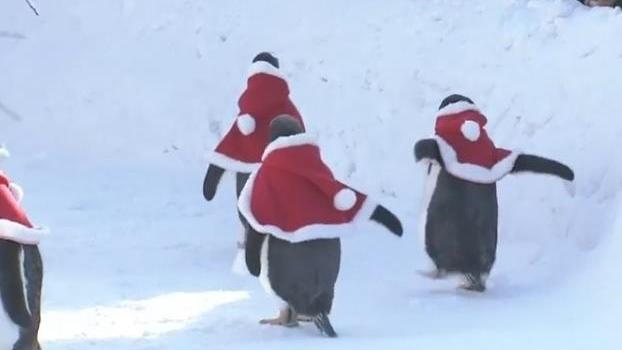 В зоопарке Китая пингвинов нарядили Санта-Клаусами