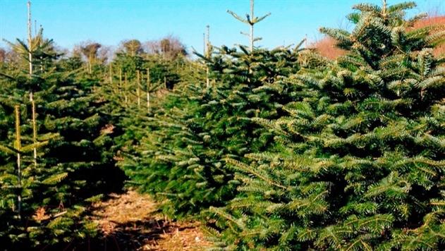 В Беларуси начали продавать живые елки в рассрочку