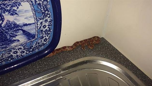 Видео: в солигорскую квартиру заползла змея